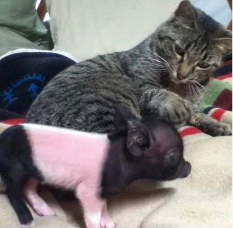 It's Ok Little Piggy - Cat humor