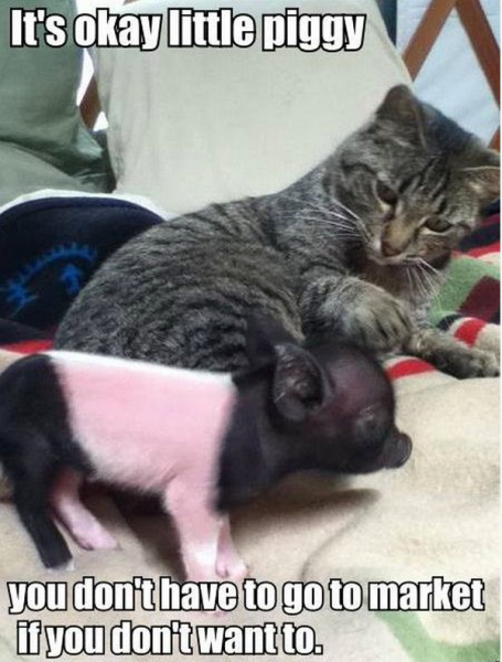 It's Ok Little Piggy - Cat humor