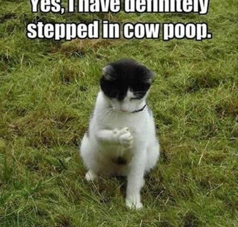 Cow Poop - Cat humor