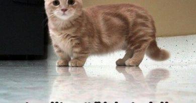 A Munchkin Cat - Cat humor