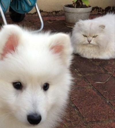 There's Only Room For One Fluffy White Pet... - Cat humor