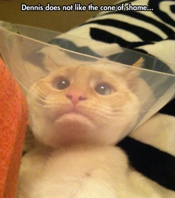 the cone of shame cat humor