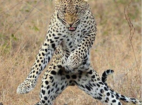 I Got The Moves Like Jaguar - Cat humor