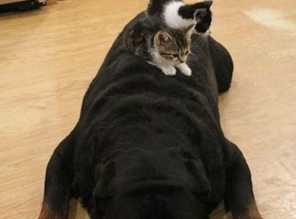 This Is What Happens When You Leave A Vicious Rottweiler Alone With Two Kittens - Cat humor